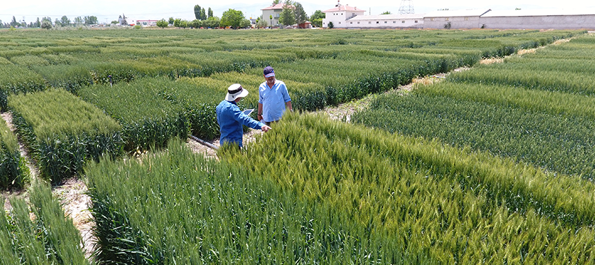 3 domestic and national wheat varieties from Tekfen Agri to Turkish farmers